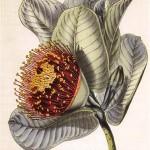 eucalyptus-macrocarpa